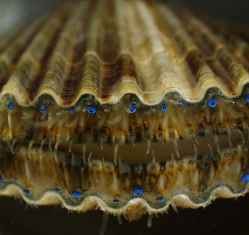 Поощрительный приз: юная особь морского гребешка Argopecten irradians. © Kathryn Markey/Aquatic Diagnostic Laboratory, Roger Williams University/Bristol, Rhode Island, USA